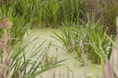 Water in the pond covered with green algae Royalty Free Stock Image