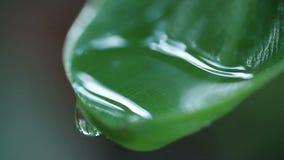 Water pooling at leaf tip stock video footage