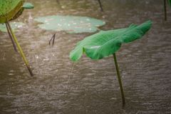 Free Water Pouring Down From The Green Lotus Leaf When The Wind Blows. Royalty Free Stock Photography - 154463227