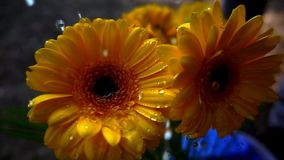 Spring flowers, slow motion. Water pouring on gerbera flower, slow motion video of spring season nature macro detail stock footage