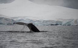 Water Pouring Off Humpback Tail. A humpback`s tail fluke with the steel gray water of Wilhelmina Bay, Antarctica in the foreground and snow in the background. A