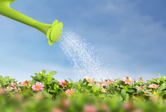 Water pouring watering can onto blooming the flower Stock Image