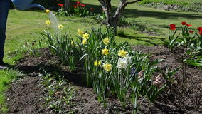 Water pouring from watering can onto blooming narcissus flower stock video