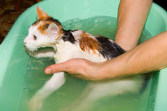 Water procedures. Washing of a kitten in a bath Stock Photo