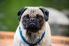 Water Pug. A pug covered in water Stock Photo