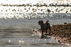 Water Pug. A pug walks on the shoreline Royalty Free Stock Photography