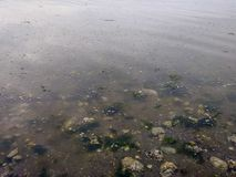 Kelp and stone shore under morning Puget sound water Stock Photo