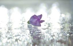 Water, Purple, Flower, Leaf Royalty Free Stock Photo