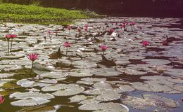 Water lilies plants in lake royalty free stock image