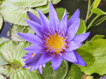 Water purple lily. Beautiful water purple lotus in garden royalty free stock image
