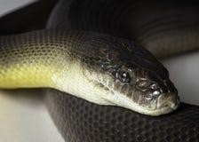 Water python Royalty Free Stock Image
