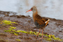 Water Rail Royalty Free Stock Photography