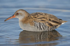 Water rail Royalty Free Stock Photo