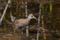 Water Rail. Juveline Water Rail (Rallus aquaticus) at Lake Kuyucuk in eastern Turkey stock photo