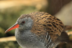 Water rail Stock Photography