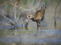 Water Rail Royalty Free Stock Photos