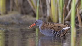 Water Rail in Pond. Water rail, Rallus aquaticus, with something to eat in his beak in pond royalty free stock photo