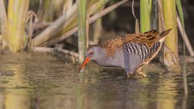 Water Rail in Pond. Water rail, Rallus aquaticus, is trying to catch fish in pond stock photos