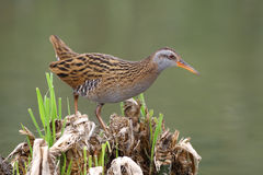 Water Rail, Rallus aquaticus Stock Photography