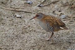 Water rail (Rallus aquaticus). Bird close up Royalty Free Stock Image