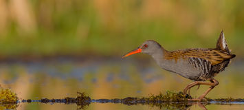 Water Rail - Rallus aquaticus. Feeding at a wetland Stock Photography