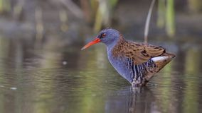 Water Rail Gazing. Water rail, Rallus aquaticus, is gazing at water cautiously to catch fish stock image