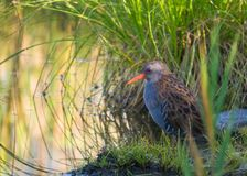Water Rail hiding in the vegetation Stock Image