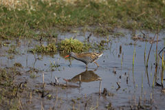 Water Rail Royalty Free Stock Images
