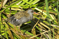 Water rail  / Rallus aquaticus Royalty Free Stock Photos