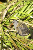 Water rail  / Rallus aquaticus Royalty Free Stock Image