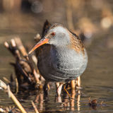Water Rail (Rallus aquaticus) Stock Photography