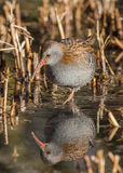 Water Rail (Rallus aquaticus) Royalty Free Stock Photos