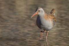 Water Rail (Rallus aquaticus) Stock Photos