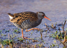 Water Rail - Rallus aquaticus. The secretive Water Rail crossing the edge of a frozen freshwater pool on a January morning stock photos