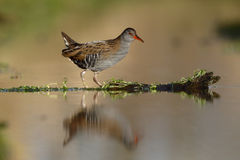 Water rail, Rallus aquaticus Stock Photos