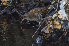 A water rail Rallus aquaticus is wading through the river Erba Stock Photography