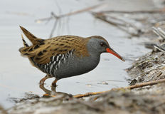 Water Rail Stock Photos