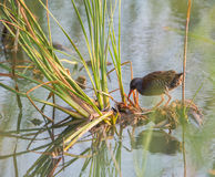 Water Rail with reed plants Royalty Free Stock Photography