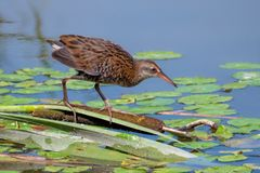Water Rail searching for food. A juvenile Water Rail - Rallus aquaticus on a flattened Reedmace surrounded by lily pads searching for food at a wetland in stock images