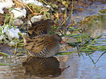 Water Rail searching for food Stock Photo