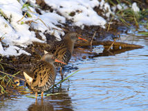 Water Rail searching for food Stock Images