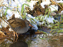 Water Rail searching for food Royalty Free Stock Image