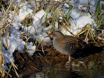 Water Rail searching for food Royalty Free Stock Images