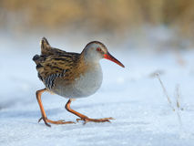 Water Rail on Snow Royalty Free Stock Image