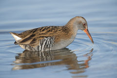 Water rail in water Royalty Free Stock Image