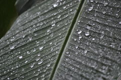 Water rain beads on a tropical palm leaf Stock Image