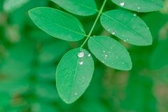 Water from rain drops beading generic simple green leaves