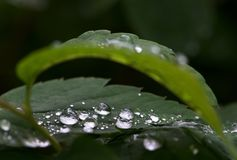 Water and rain drops on the leaf, abstract view, Drops of rain on green background / drops on leave after rain. Water and rain drops on the leaf, abstract view Royalty Free Stock Photo