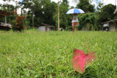 Water,Rain drops on leaf with umbrella. Water,Rain drops on leaf with umbrella blur on the lawn Royalty Free Stock Image