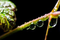 A close up photo of dew hanging on a stem and in black. royalty free stock photography